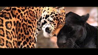 Attack Jaguar animal - Amazing Jaguar Hunting