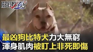 全世界最凶的狗「比特犬」渾身肌肉力大無窮 被盯上非死即傷… 關鍵時刻 20180328-3 朱學恒