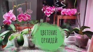 Посленовогоднее и Обзор Орхидей