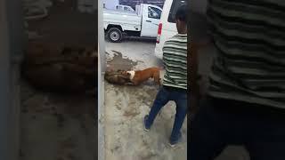 Питбуль загрыз до смерти бездомную собаку не для слабо нервных