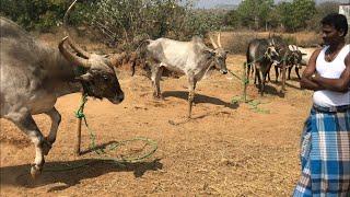 Prices of OMG Jallikattu bulls