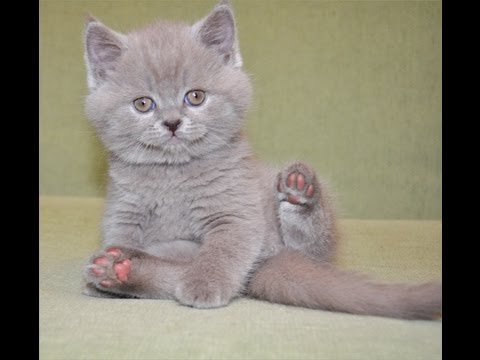 котенок шотландец фото