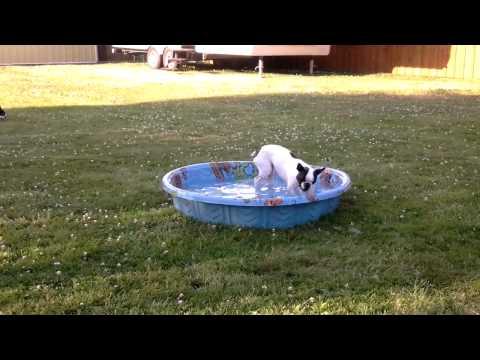 Bella The Boston, Making A Splash!