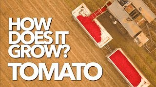 TOMATO | How Does it Grow?