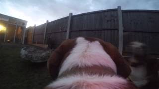 Alfie & Roxy Beagle Testing Alfiecam In The Garden.