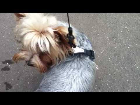 Собаки в городе / Прогулка с Женей / Йоркширский терьер