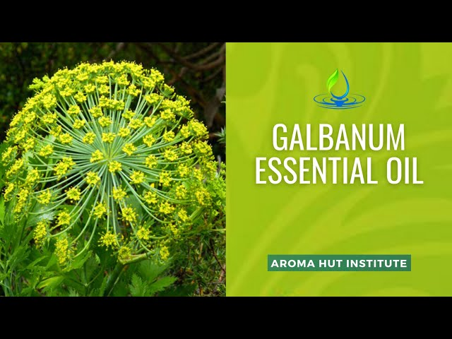Galbanum Essential Oil | Uses and Benefits