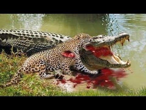 JAGUAR ATTACKS AND KILLS CROCODILE