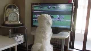 競馬が始まる時間になるとテレビの前に座りレースを観戦するマルチーズ.