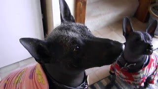 Xolo, Mexican Hairless Dog Sings For Her Supper