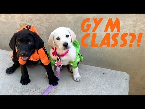 LABRADOR PUPPIES GO TO COLLEGE!
