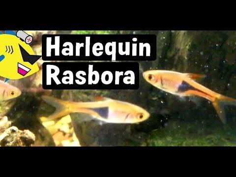 Hengeli Rasboras ( Planted Nano Tank) Fluval V Spec | Doovi