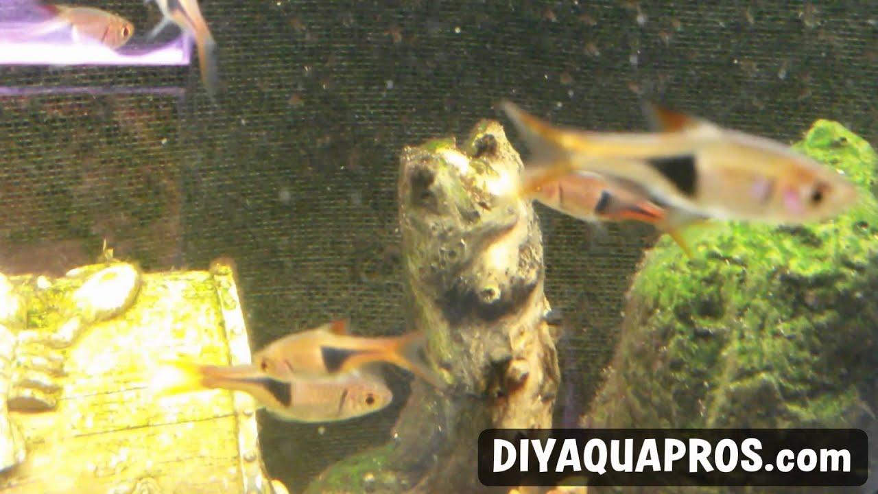 Freshwater aquarium fish profiles - Harlequin Rasbora Fish Profile Easy Freshwater Fish