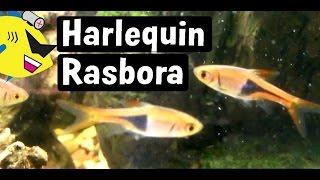 Harlequin Rasbora Fish Profile: Easy Freshwater Fish