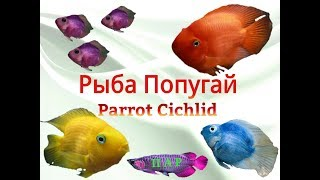 Аквариумные рыбки.Рыба попугай.Parrot Cichlid