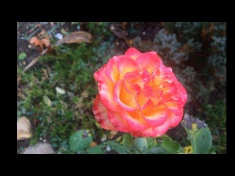 Осень  - Розы для ВАС !!! - Для души ! Это я по тебе скучаю...