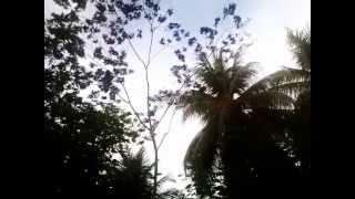 Mono Volador de la Selva  y Arboles de Coco