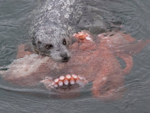 Thumbnail: Incredible Fight! Harbour Seal vs Giant Pacific Octopus