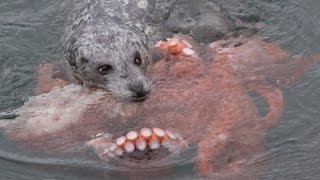 Incredible Fight! Harbour Seal vs Giant Pacific Octopus