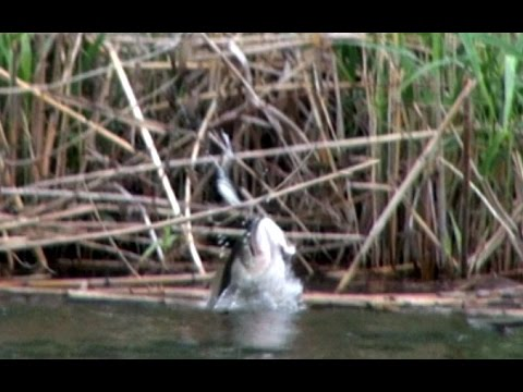 top 10 topwater frog strikes by bamabass. big bass blowups! - youtube, Soft Baits