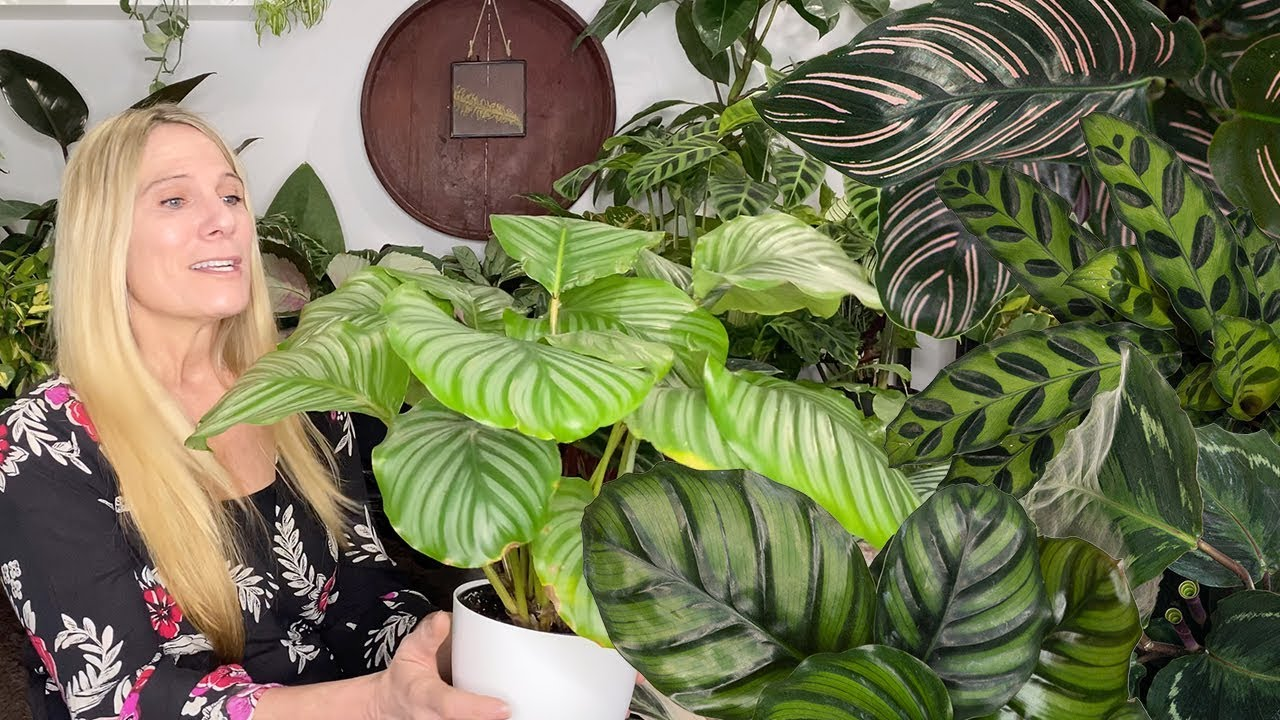 Download The Secrets of Prayer Plant Care! | Calathea, Stromanthe, Maranta and Ctenanthe