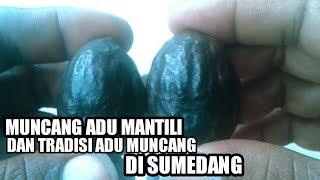 Download Video MUNCANG ADU DAN TRADISI NGADU MUNCANG DI SUMEDANG MP3 3GP MP4