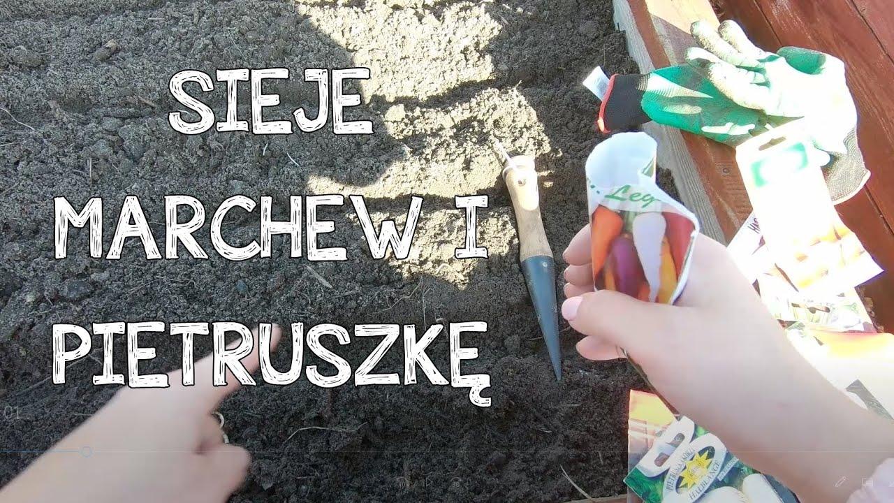 Download UPRAWA PIETRUSZKI. Kiedy siać korzeniowe. uprawa marchwi w ogrodzie. Jak siać marchew. uprawa warzyw