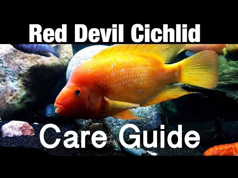 Red Devil Cichlid Care Guide