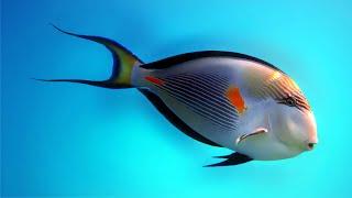 Рыба-хирург Acanthurus