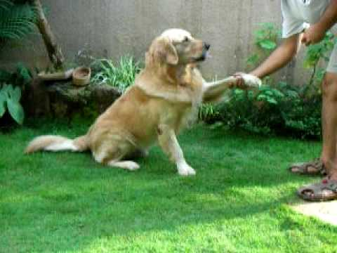 Eldo The Smart And Talented Golden Retriever Youtube