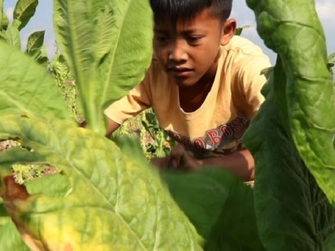 Child Labour in Indonesian Tobacco Farms