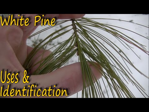 White Pine - Identification and Uses