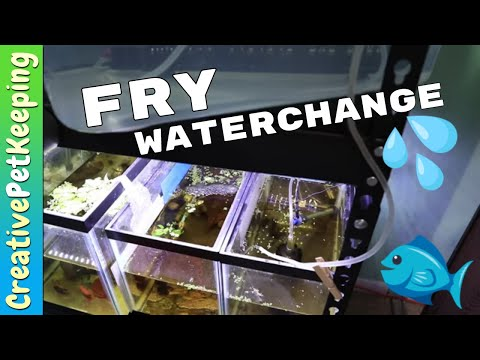 How I Do A Water Change In The FRY TANK   One Month Old BABY BETTA FISH