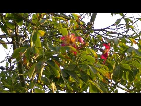 PALO BORRACHO: Ceiba speciosa (www.riomoros.com)