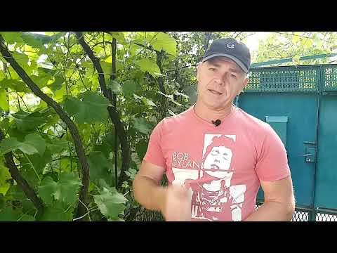 Сорт винограда Кишмиш Коктейль. 🍇 Описание сорта винограда ...