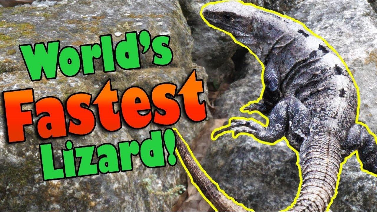 meet-the-black-spiny-tailed-iguana