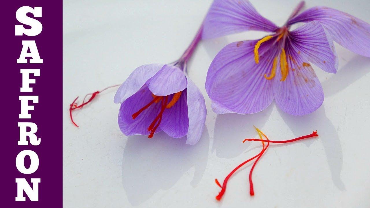 Harvest Saffron Flowers Make Saffron Spice Simple But So Tiny