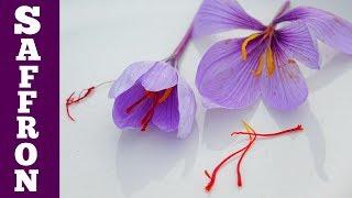 Harvest Saffron Flowers & Make Saffron Spice: Simple, But So Tiny!