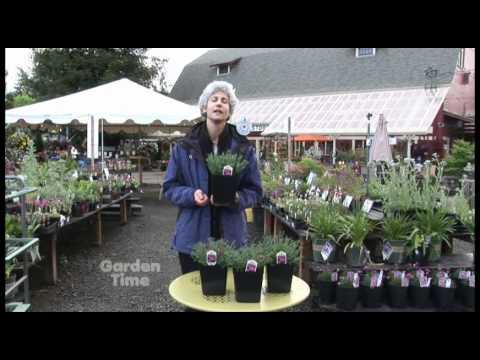 Plant Pick Dianthus Shining Star