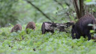 Dziki w lesie