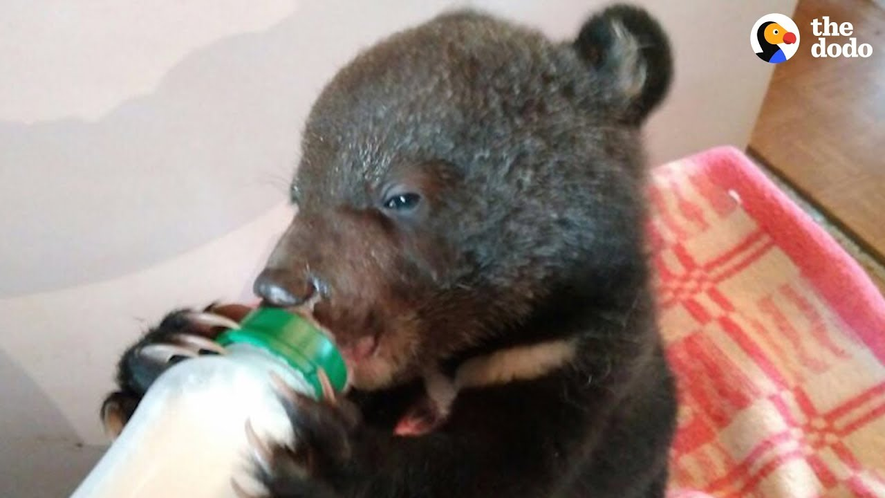 Family Has Been Rescuing Orphaned Bear Cubs For Over 30 Years | The Dodo