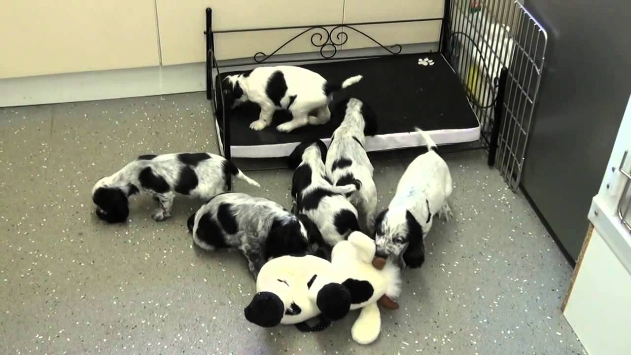 Black and White Spotted Cocker Spaniel Pups - YouTube