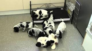 Black And White Spotted Cocker Spaniel Pups