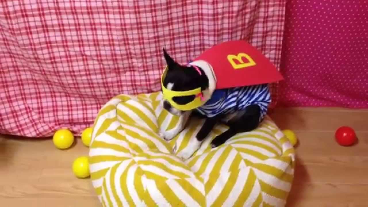 Dog Riding Roomba Superhero Hamburger Costume Youtube