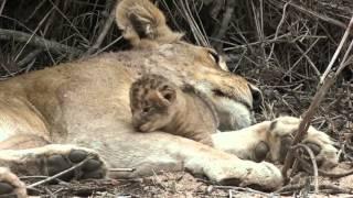 Two Good Lion Sightings at Mala Mala Camp