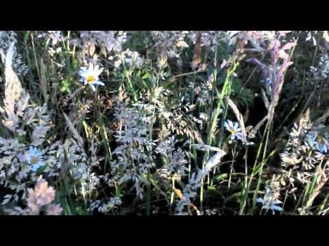Meadow grasses for clay and loam soils