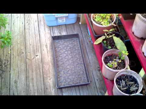 How to Germinate Tea Seeds (Camellia sinensis) Part 2 of 3