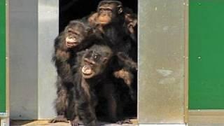 Nach 30 Jahren im Labor: Schimpansen sehen zum ersten Mal Sonnenlicht