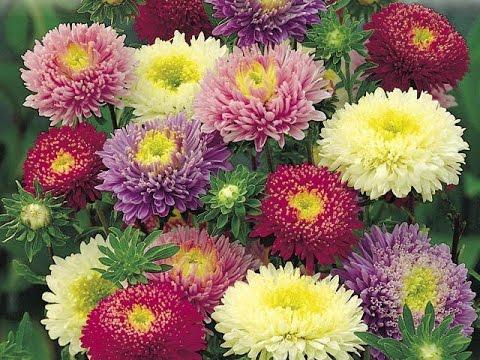 Фото рассады цветов астр 70
