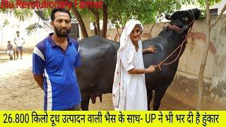 MURRAH BUFFALO- with a simple Dairy kisan of Uttarpradesh Amit Nagar  8076160484